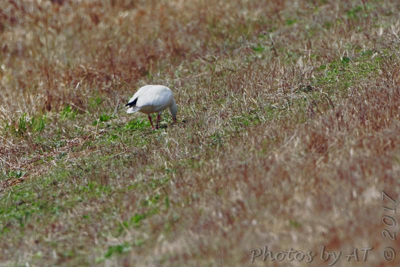 Snow Goose <br /> Teal Pond <br /> Riverlands Migratory Bird Sanctuary