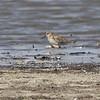 Mystery bird? ID?<br /> Lincoln Shields Area <br /> Riverlands Migratory Bird Sanctuary