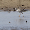 Greater Yellowlegs <br /> Lincoln Shields Area <br /> Riverlands Migratory Bird Sanctuary