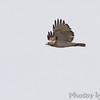 Red-tailed Hawk <br /> August A Busch Memorial Conservation Area <br /> 2017-03-26