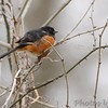 Eastern Towhee <br /> August A Busch Memorial Conservation Area <br /> 2017-03-28