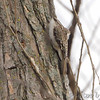 Brown Creeper <br /> Columbia Bottom Conservation Area <br /> 2017-03-26