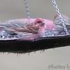 Purple Finch (male) <br /> Bridgeton, MO <br /> 2017-03-23
