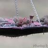 Purple Finch (male)<br /> and House Finches <br /> Bridgeton, MO <br /> 2017-03-23