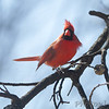 Northern Cardinal <br /> Bridgeton, MO <br /> 2017-03-02