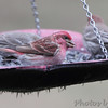 Purple Finch (male) <br /> Bridgeton, MO <br /> 2017-03-23