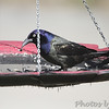 Common Grackle <br /> Bridgeton, Mo <br /> 2017-03-10