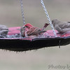 Purple Finch (male)<br /> and House Finches <br /> Bridgeton, MO <br /> 2017-03-23