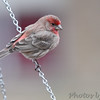 House Finch <br /> Bridgeton, MO <br /> 2017-03-23
