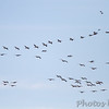 American White Pelicans <br /> and Snow Geese <br /> Columbia Bottom Conservation Area