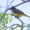 Great Crested Flycatcher <br /> Point Lookout State Park <br /> St. Mary's County, Maryland