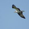 Osprey <br /> Point Lookout State Park <br /> St. Mary's County, Maryland