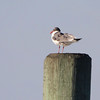 Laughing Gull <br /> Chesapeake Bay <br /> Point Lookout State Park <br /> St. Mary's County, Maryland