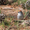 Chipping Sparrow <br /> Point Lookout State Park <br /> St. Mary's County, Maryland