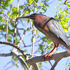 Green Heron <br /> Point Lookout State Park <br /> Maryland