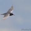 Black Tern <br /> Clarence Cannon National Wildlife Refuge