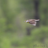 Eastern Meadowlark <br /> Clarence Cannon National Wildlife Refuge