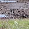 Black-bellied Plovers <br /> Clarence Cannon National Wildlife Refuge