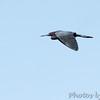 Little Blue Heron <br /> Clarence Cannon National Wildlife Refuge