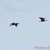 Glossy Ibis • White-faced Ibis <br /> Black Tern <br /> Clarence Cannon National Wildlife Refuge