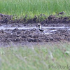 Black-bellied Plover <br /> Clarence Cannon National Wildlife Refuge