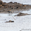 Dunlin <br /> Clarence Cannon National Wildlife Refuge