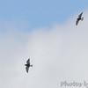 Black Terns <br /> Clarence Cannon National Wildlife Refuge