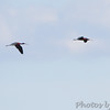 Glossy Ibis • White-faced Ibis <br /> Clarence Cannon National Wildlife Refuge