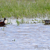 Northern Shovelers <br /> Clarence Cannon National Wildlife Refuge