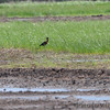 Glossy Ibis • White-faced Ibis <br /> Great Egret <br /> Clarence Cannon National Wildlife Refuge