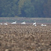 Trumpeter Swans <br /> and Snow Geese <br /> Red School Road <br /> St. Charles County
