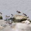Dunlin <br /> Teal Pond <br /> Riverlands Migratory Bird Sanctuary