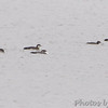 Common Loons <br /> Ellis Bay <br /> Riverlands Migratory Bird Sanctuary