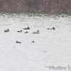 """leucistic"" Gadwall? <br /> Ellis Bay <br /> Riverlands Migratory Bird Sanctuary"