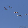 Trumpeter Swans <br /> Cora Island Road <br /> St. Charles County