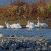 American White Pelicans <br /> Teal Pond <br /> Riverlands Migratory Bird Sanctuary