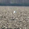 "Snowy Owl <br> Cora Island Road <br> St. Charles County <br> 2017-11-09 11:48am <br>  <span class=""noShowSmart""> <a href=""/MyKeywords/Bird-Videos/n-gF9bt/i-ctfQW7g/A""> <span style=""color:yellow"">Click here to open video in lightbox/full screen</span></a> </span>  <span class=""noShowGallery""> <a href=""/Birds/2017-Birding/Birding-2017-November/2017-11-09-RMBS-Cora-Island-Road/i-ctfQW7g/A""> <span style=""color:yellow"">Click here to open video in lightbox/full screen</span></a> </span>"