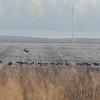 American Crows <br /> Riverlands Migratory Bird Sanctuary