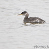Red-necked Grebe <br /> Ellis Island lagoon <br /> Riverlands Migratory Bird Sanctuary