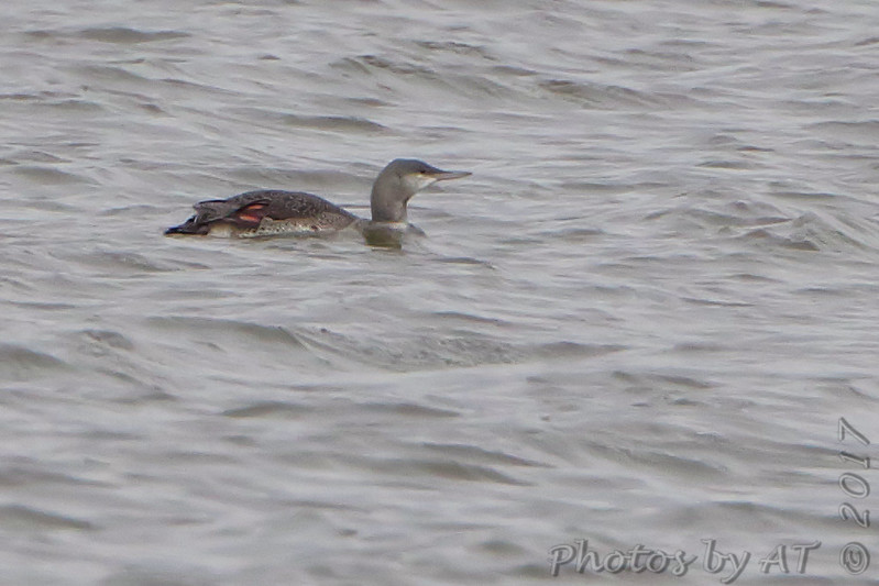 Red-throated Loon <br /> Ellis Bay <br /> Riverlands Migratory Bird Sanctuary
