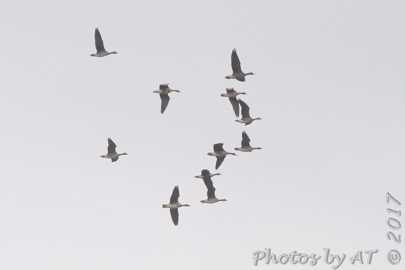 Greater White-fronted Geese <br /> Teal Pond <br /> Riverlands Migratory Bird Sanctuary