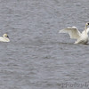 Tundra and Trumpeter Swan <br /> Ellis Bay <br /> Riverlands Migratory Bird Sanctuary