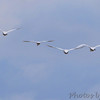 Trumpeter Swans and Tundra Swan <br /> Ellis Bay <br /> Riverlands Migratory Bird Sanctuary