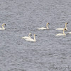 Tundra and Trumpeter Swans <br /> Ellis Bay <br /> Riverlands Migratory Bird Sanctuary