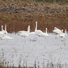 Trumpeter Swans <br /> (2) Tundra Swans on right <br /> Heron Pond <br /> Riverlands Migratory Bird Sanctuary