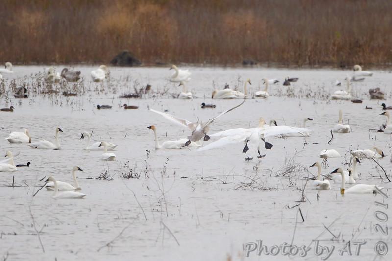 Trumpeter Swans <br /> (2) Tundra Swans bottom left <br /> Heron Pond <br /> Riverlands Migratory Bird Sanctuary
