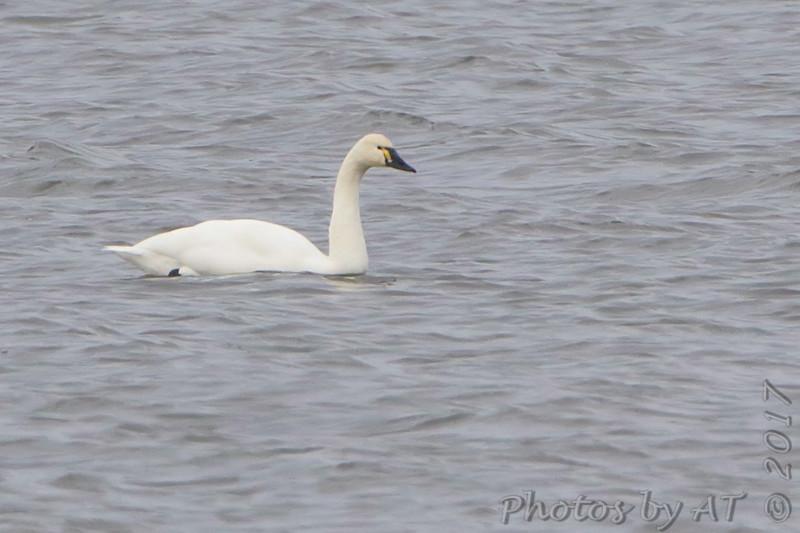 Tundra Swan <br /> Ellis Bay <br /> Riverlands Migratory Bird Sanctuary