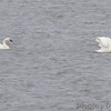Tundra and Trumpeter Swan <br /> Ellis Bay <br /> Riverlands Migratory Bird Sanctuary
