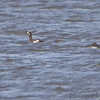 White-winged Scoter and Common Goldeneye <br /> Ellis Bay - Illinois<br /> Riverlands Migratory Bird Sanctuary