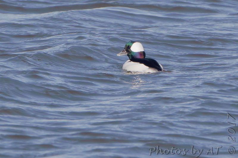 Bufflehead <br /> Ellis Bay <br /> Riverlands Migratory Bird Sanctuary
